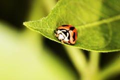 Ladybird on green leaf Stock Photo