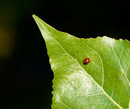 Ladybird on a green leaf Royalty Free Stock Image