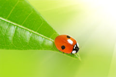 Ladybird on a green leaf Stock Images