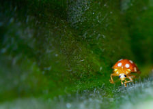 Ladybird on a green leaf  closeup Royalty Free Stock Photo