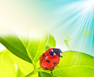Ladybird on green leaf and drop Stock Photography