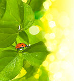 Ladybird on green leaf and drop Royalty Free Stock Photography