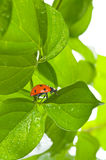 Ladybird on green leaf and drop Stock Images