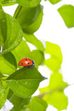 Ladybird on green leaf and drop Royalty Free Stock Image