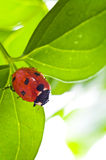 Ladybird on green leaf and drop Royalty Free Stock Images