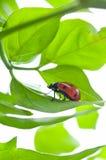 Ladybird on green leaf and drop. Ladybird ladybug dew drop leaf Stock Images