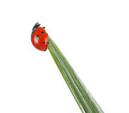 Ladybird on green leaf Stock Photo