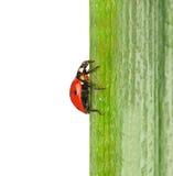 Ladybird on green leaf Stock Image