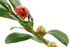 Ladybird on green leaf Stock Photos