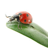 Ladybird on green leaf Royalty Free Stock Images