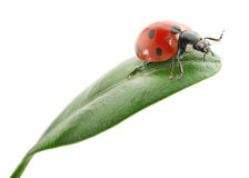 Ladybird on green leaf Stock Images