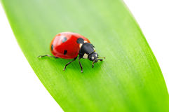 Ladybird on green leaf Royalty Free Stock Photography