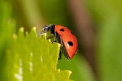 Ladybird on a green leaf in nature stock photos