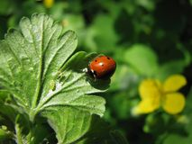 Ladybird on a green leaf. The red ladybug in a garden is eating aphid Royalty Free Stock Photo