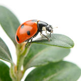 Ladybird on green leaf Royalty Free Stock Photo