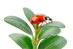 Ladybird on green leaf  on a white background Royalty Free Stock Image