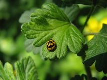 Ladybird on a green leaf. Yellow ladybug sets on a green leaf in its natural habitat Royalty Free Stock Photo
