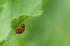 Ladybird on a green leave Royalty Free Stock Photo