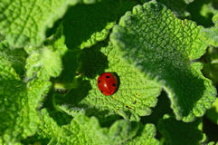 A Ladybird On Green Leaves Suitable For A Background Stock Images