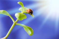 Ladybird on green plant Royalty Free Stock Photo