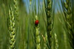 Ladybird on green rye. Stock Images