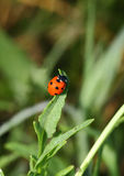 Ladybird on green sheet Stock Photography
