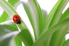 Ladybird on the green shoots Royalty Free Stock Photos
