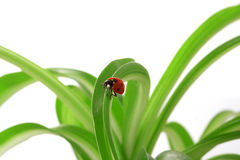 Ladybird on the green shoots Royalty Free Stock Image