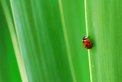 Ladybird on green yucca leaves. Macro view of ladybird or big on green yucca plant leaves royalty free stock photo