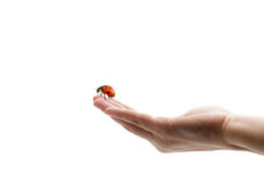 Ladybird on hand royalty free stock images