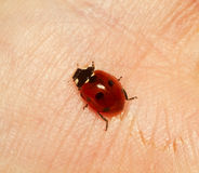 Ladybird on the hand Royalty Free Stock Images