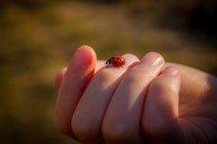 Ladybird in Hand stock images