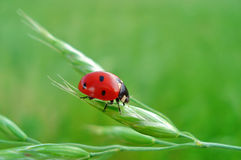 Ladybird for a happiness Royalty Free Stock Image