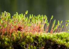 Ladybird hidden in moss Royalty Free Stock Photo