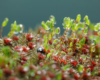 Ladybird hidden in moss after the rain Royalty Free Stock Image