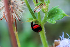 Ladybird hiding under a small leaf Stock Photography