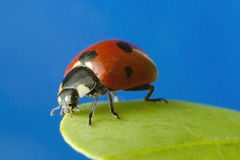 Ladybird at high magnification Stock Photo
