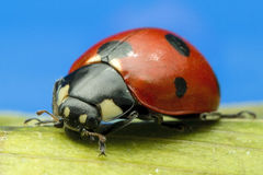 Ladybird at high magnification Stock Photography