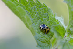 Ladybird. (Hippodamia notata) on leaf of nettle royalty free stock photography