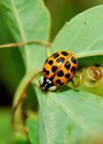 Ladybird I Royalty Free Stock Photo