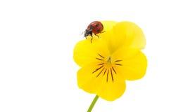 Ladybird i pansy Zdjęcie Royalty Free