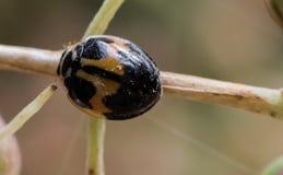 Ladybird II Fotografia Stock