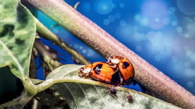 Ladybird insects pair mating (Coccinellidae septempunctata) royalty free stock images