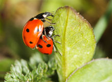 Ladybird insects pair mating Royalty Free Stock Photography