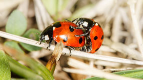 Ladybird insects pair mating Stock Image