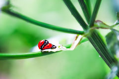 Ladybird joignant au printemps Photo libre de droits