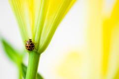 ladybird kolor żółty Fotografia Stock