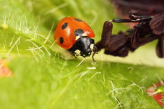Ladybird/ladybug. On a bright green poppy leaf Stock Images