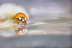 Ladybird/Ladybug Стоковые Изображения RF