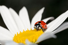 Ladybird or Ladybug Beetle Royalty Free Stock Photography